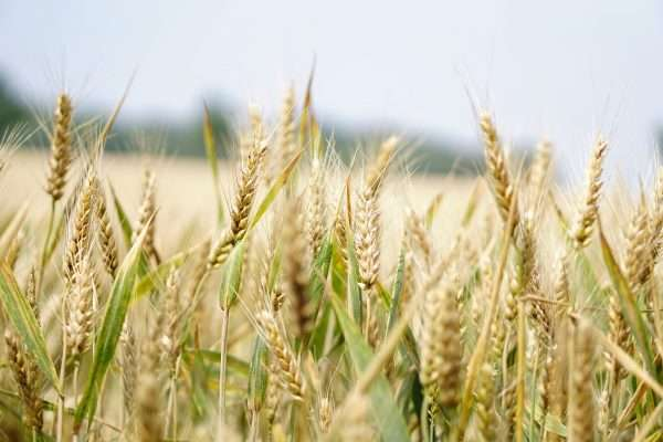 Wheat surveillance activities in South Asia up 16%; streamlined efforts, enhanced toolbox