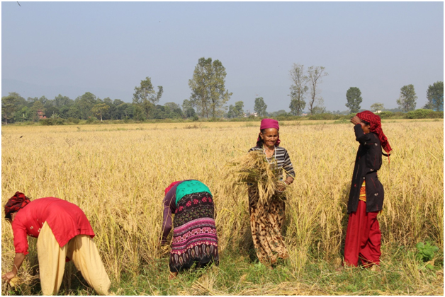Innovative Seed System Nepal: Gearing up for wheat season 2017-18