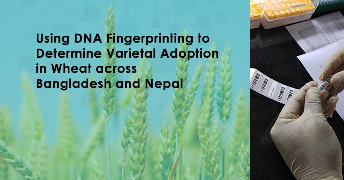 Using DNA Fingerprinting to Determine Varietal Adoption in Wheat across Bangladesh and Nepal