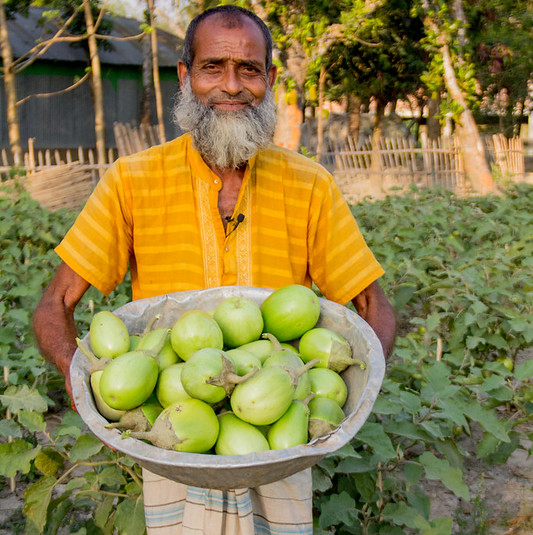 Bt eggplant in Bangladesh: Public sector paved the path for success, time now for private sector to step-in!