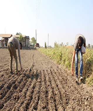 Quality wheat seed production in Chitwan, Nepal