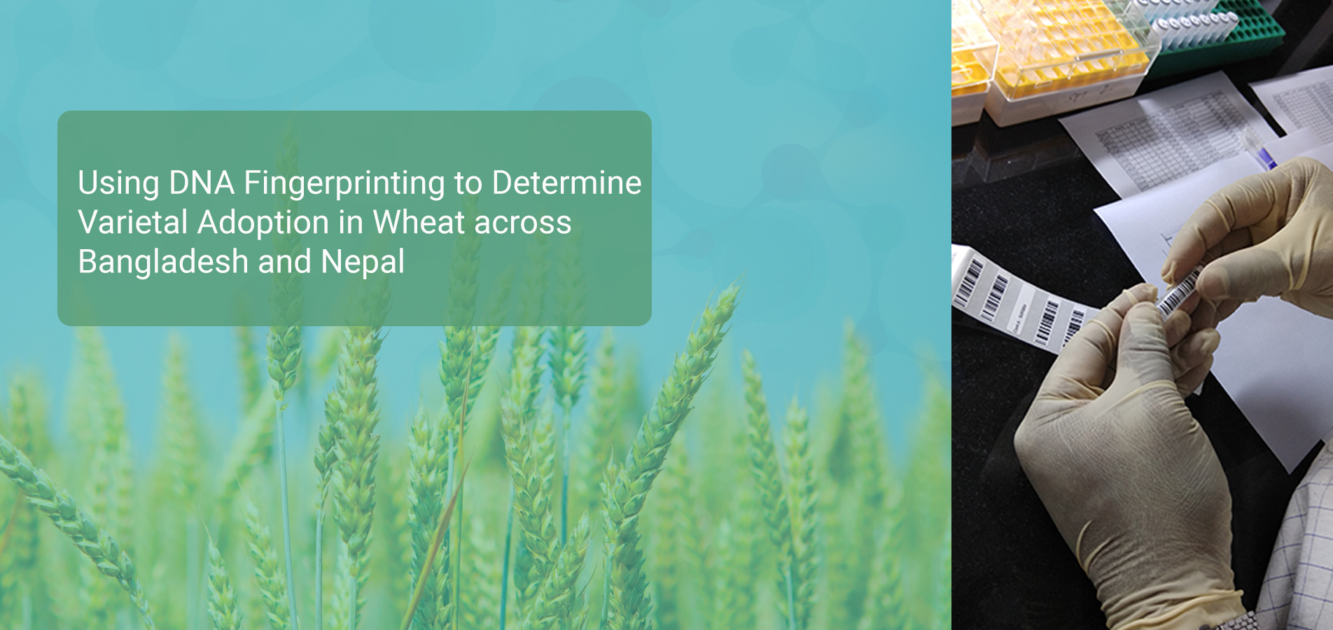 using-dna-fingerprinting-to-determine-varietal-adoption-in-wheat-across-bangladesh-and-nepal