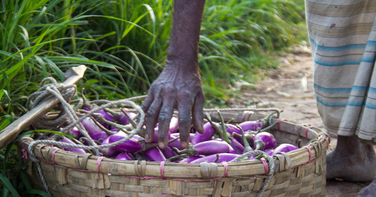 Steps for keeping Bt eggplant technology sustainable and durable in Bangladesh